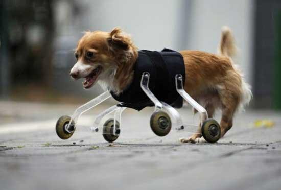它佩戴的假肢由一名喜爱动物的艺术系学生发明.